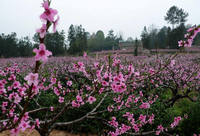 五里景区-五里桃花